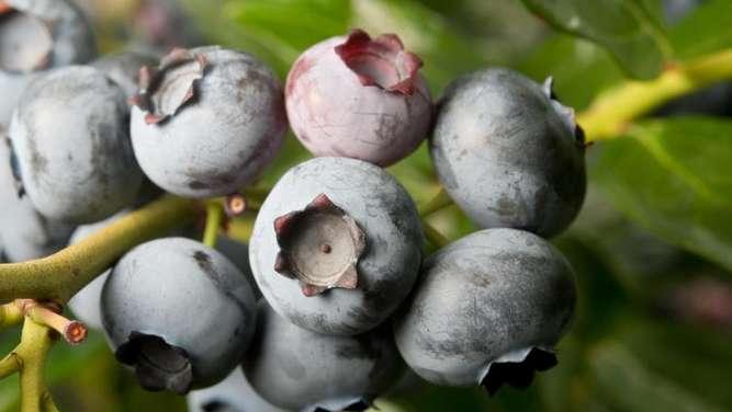 blaubeeren wachsen am besten in rhododendronerde garten. Black Bedroom Furniture Sets. Home Design Ideas